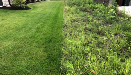 ExperiGreen lawn on left looks better than weed-infested lawn on right
