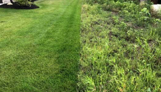 lush, healthy ExperiGreen lawn on the left, weed-ridden grassless lawn on the right