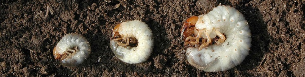 Grub worms not only look disgusting, but they can also do immense damage to your lawn by eating your grass roots. ExperiGreen Lawn Care's grub control treatment can stop costly grub damage before it starts!