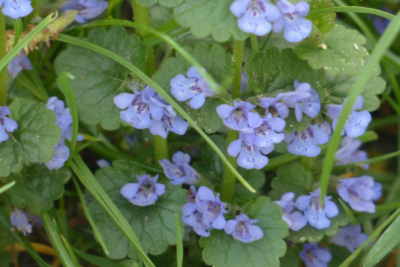 Control Creeping Charlie and Ground Ivy in Your Chicago Lawn