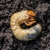 Lawn grub control from ExperiGreen Lawn Care can get rid of these nasty bugs that eat your grass' roots!
