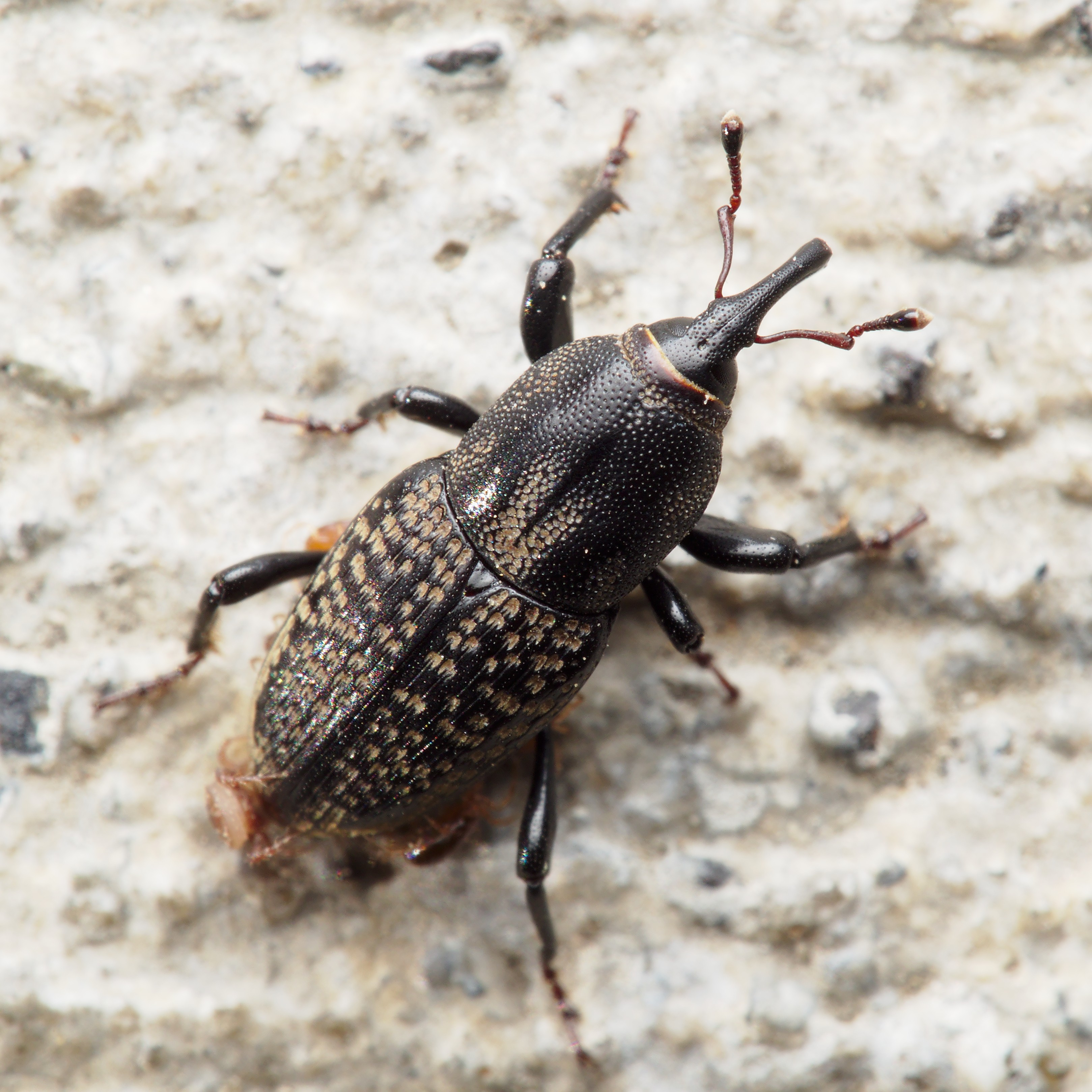 Lawn insect control from ExperiGreen Lawn Care can get rid of billbugs and other nasty lawn damaging pests.