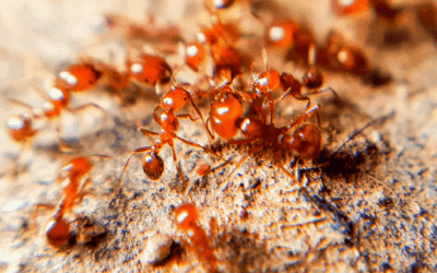 Fun Facts on Fire Ants