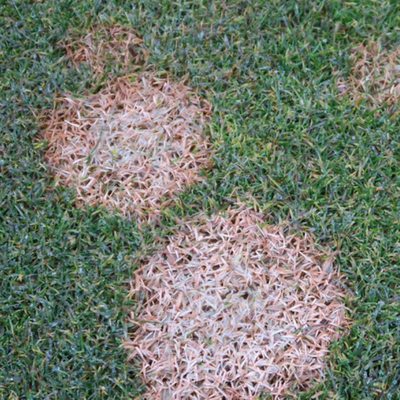pythium blight in grass