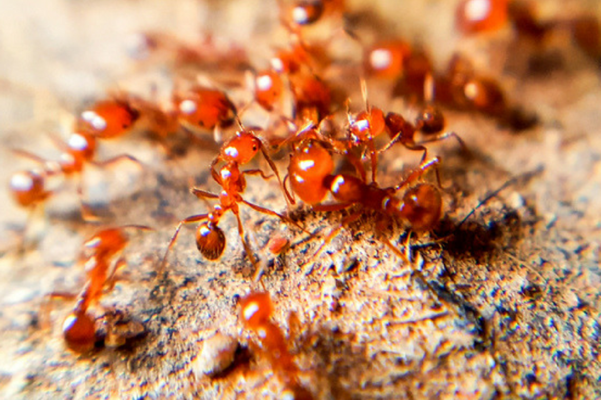 21 Facts About Fire Ants