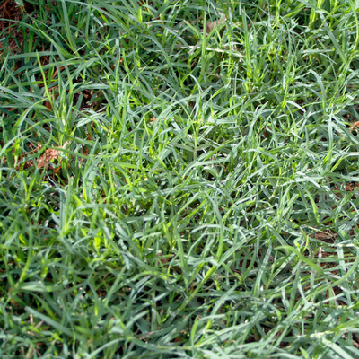 Bermuda Grass - Image attribution: Bidgee, Cynodon dactylon 2, cropped the image, CC BY-SA 3.0