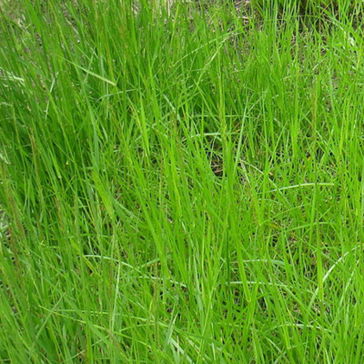 Tall Fescue - Image attribution: Bidgee, Cynodon dactylon 2, cropped the image, CC BY-SA 3.0