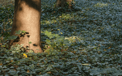 Groundcover versus Grass