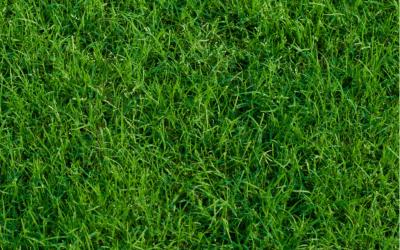 Preemergent Bermuda Grass
