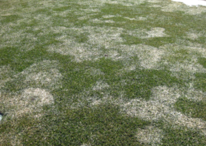 White fuzzy mold on grass