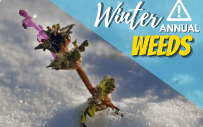 What Are Winter Annual Weeds