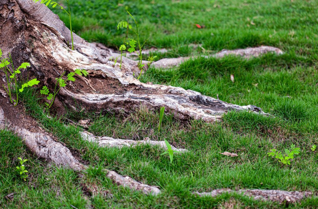 Tree Roots In The Lawn