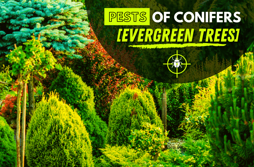 Pests of Conifers [Evergreen Trees]