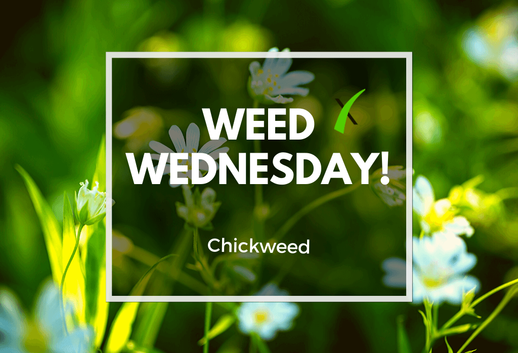 Weed Wednesday Chickweed Home Lawn