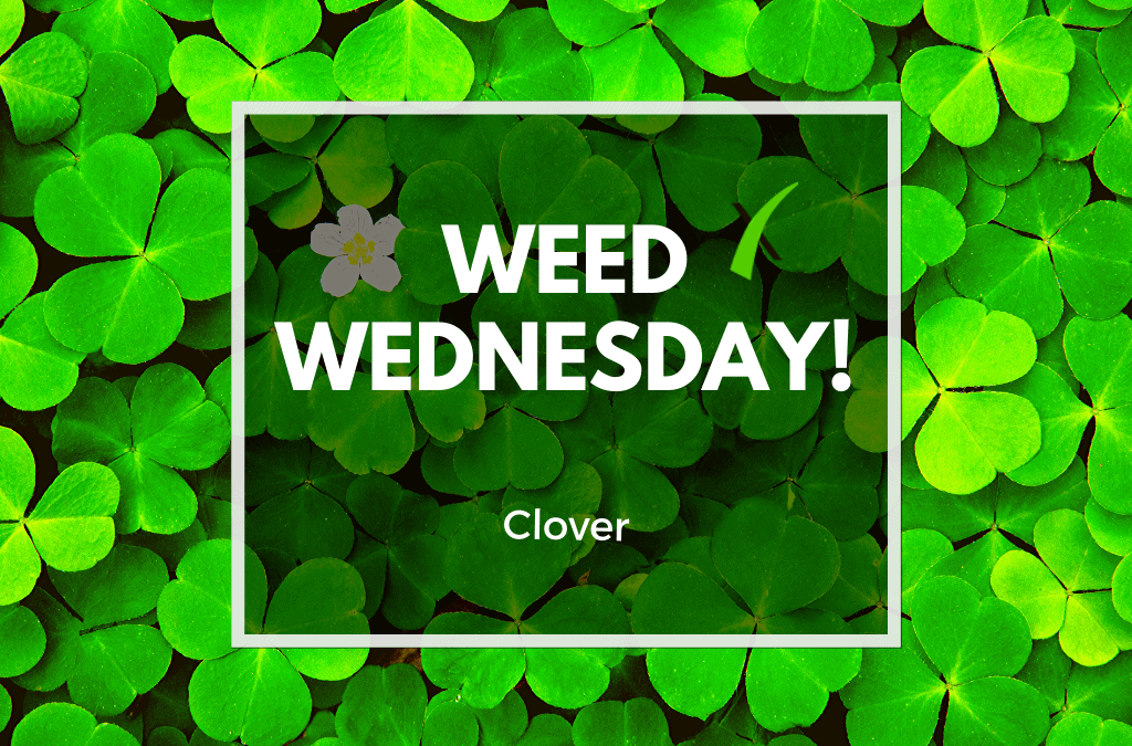 Weed Wednesday Clover