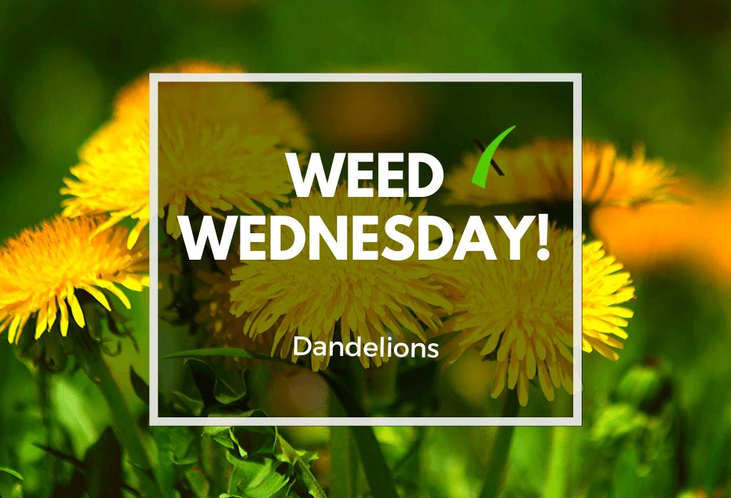 Weed Wednesday- Dandelions