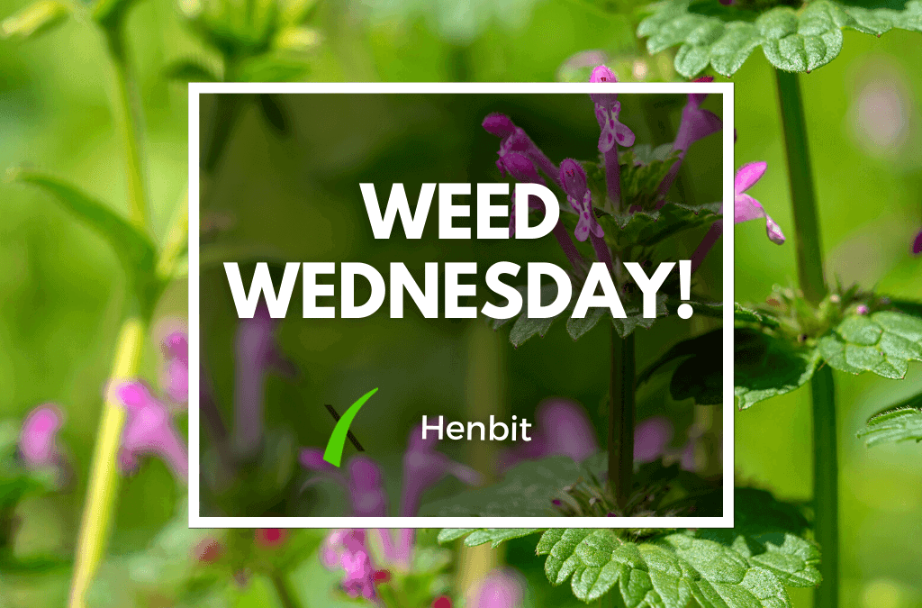 Weed Wednesday: Henbit Weed In Lawns