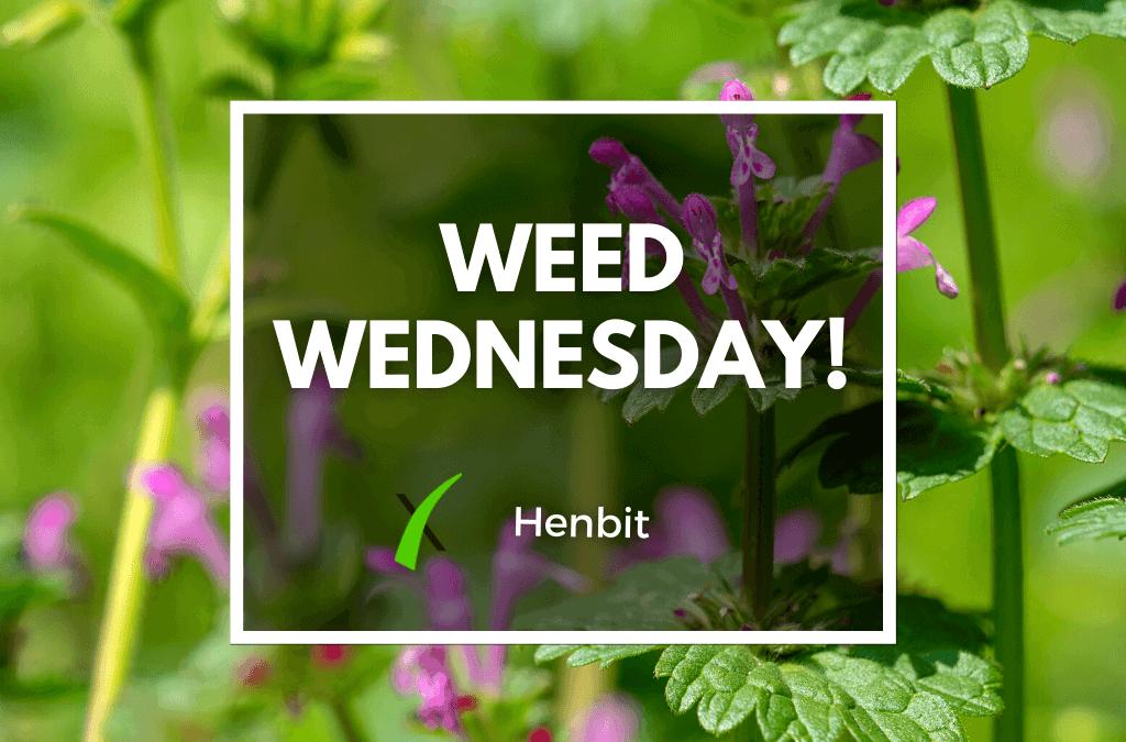 Weed Wednesday Henbit Weed Control