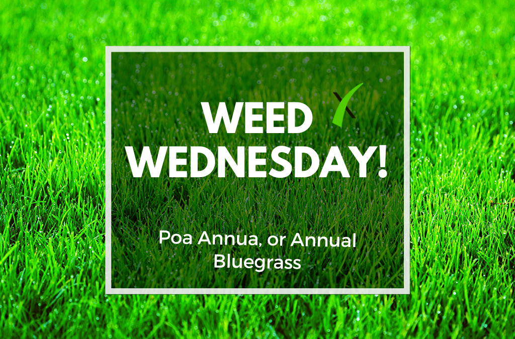 Weed Wednesday Poa Annua and Annual Bluegrass