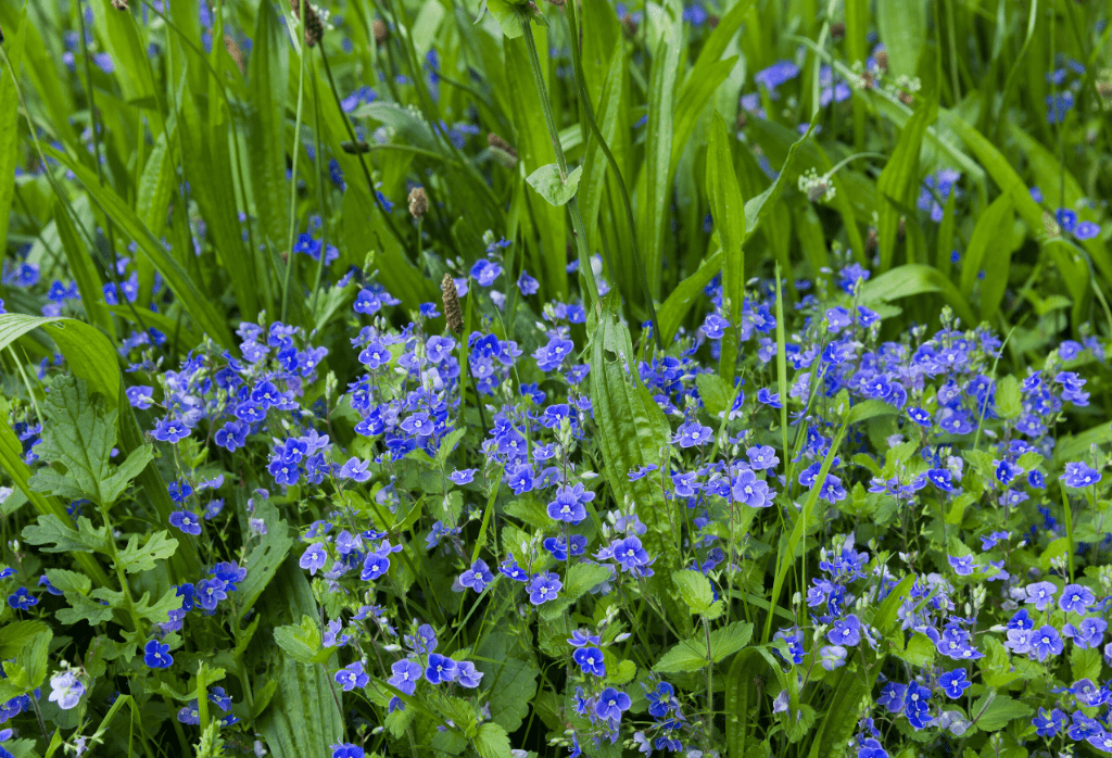 Speedwell Weeds - Controlling Weed Speedwell In Lawns