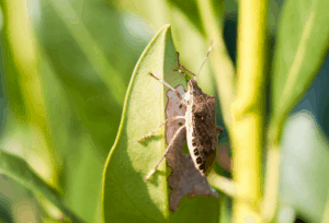 Stink Bugs Are A Problem