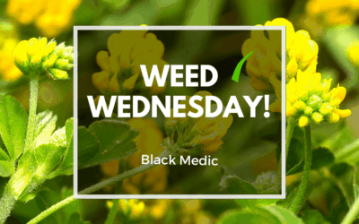 Weed Wednesday Black Medic