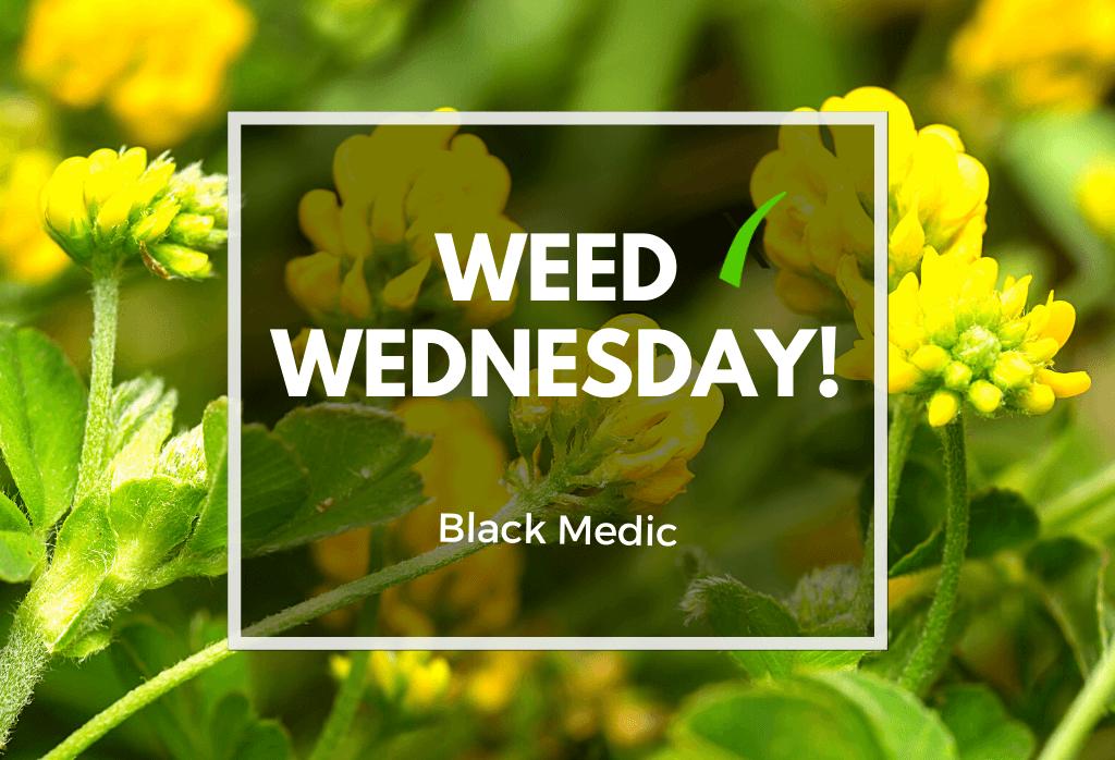 Weed Wednesday Black Medic
