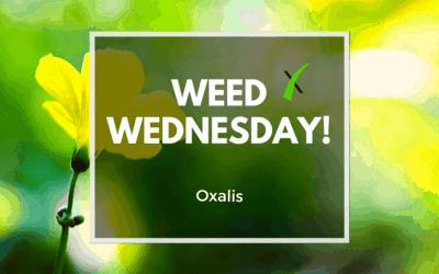 Weed Wednesday Oxalis