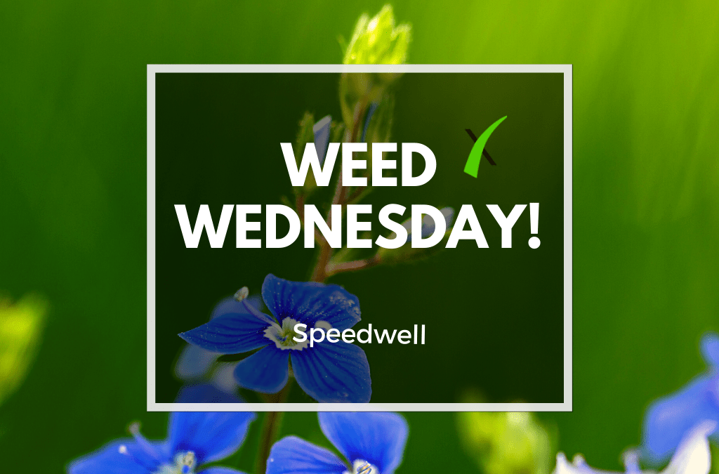 Weed Wednesday Speedwell