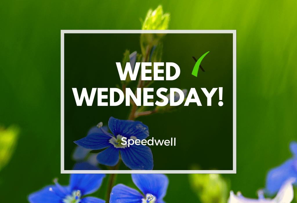 Weed Wednesday Speedwell
