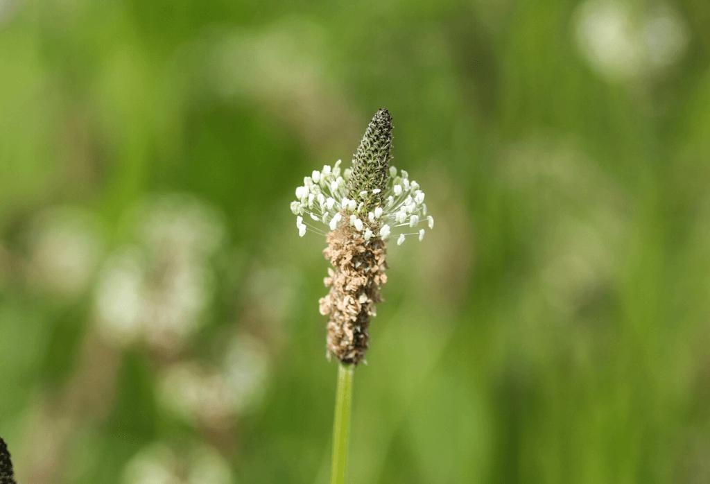 Buckhorn Plantain Weed Control