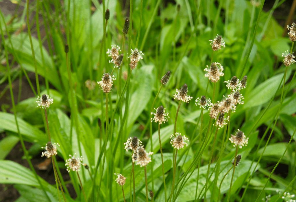 Buckhorn Plantain in Lawns