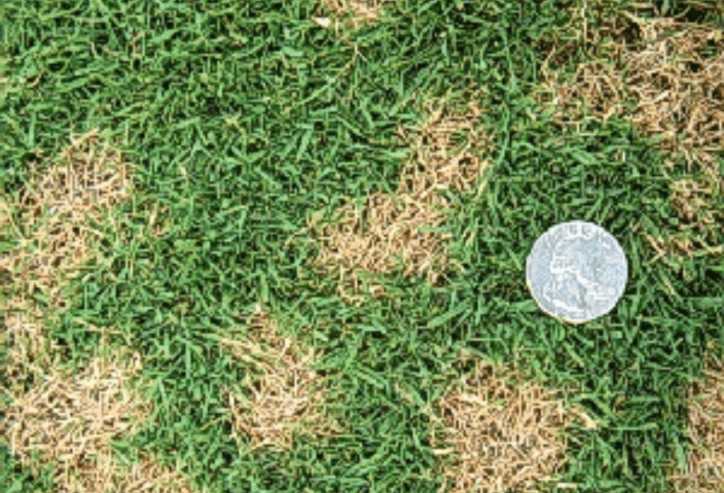 Dollar Spot Disease Closeup