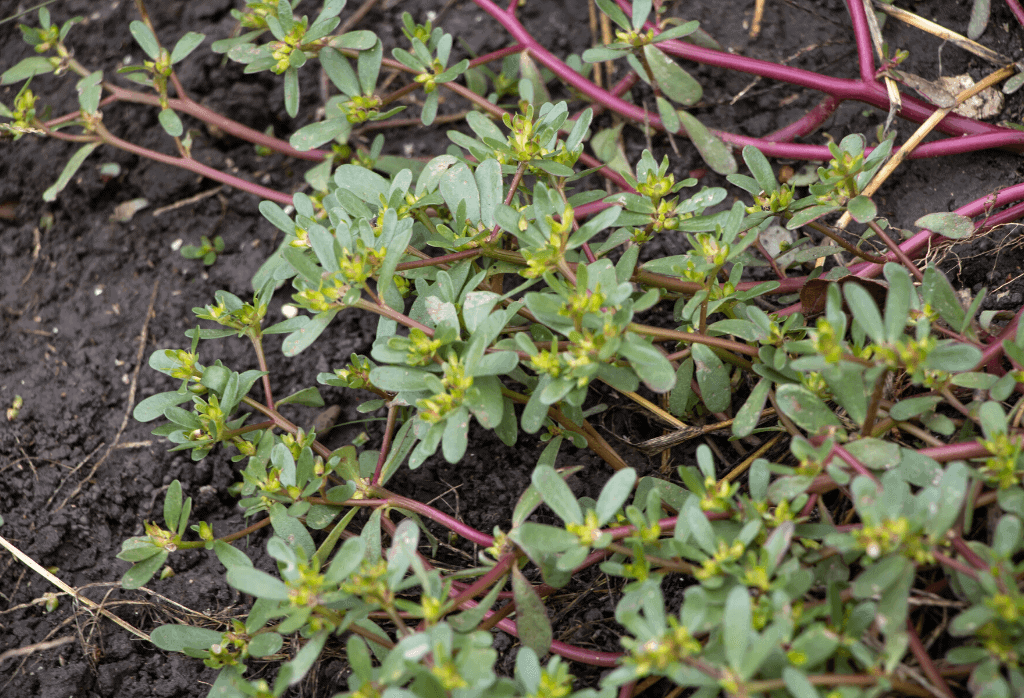 Purslane Weed Control For Home Lawns