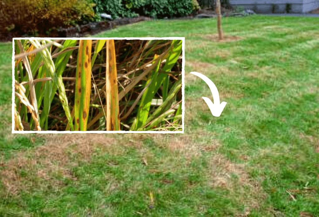 Spring Leafspot Summer Lawn Disease