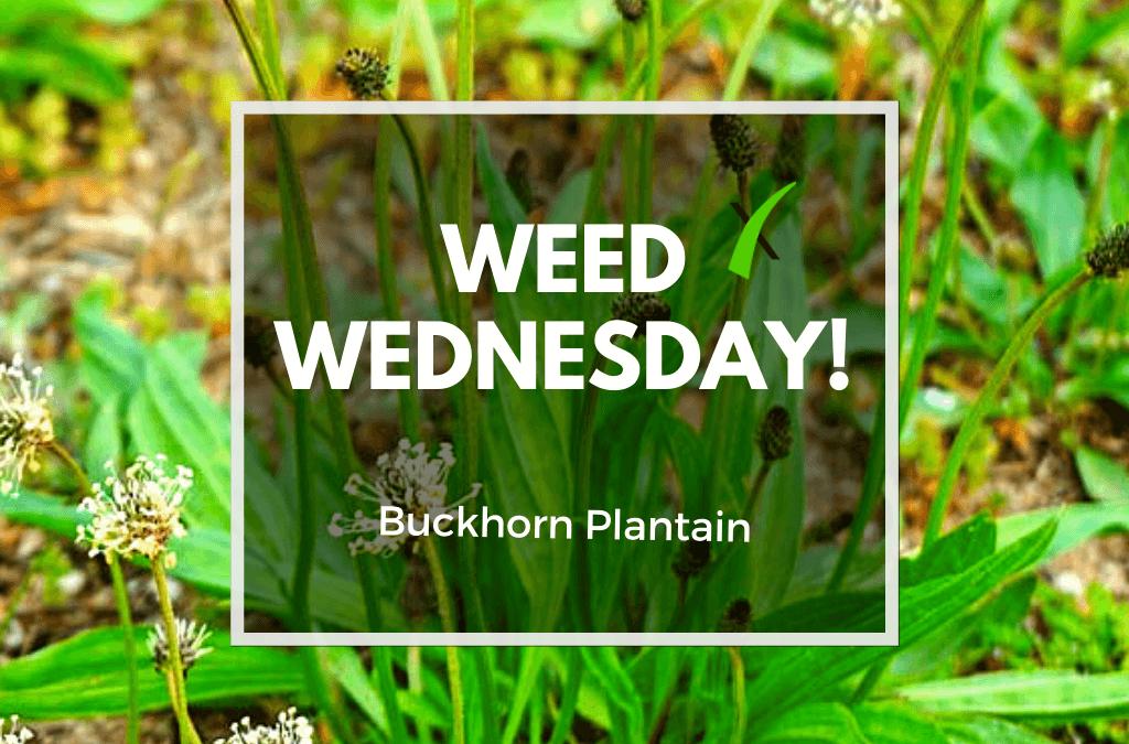 Weed Wednesday Buckhorn Plantain