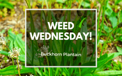 Weed Wednesday Buckhorn Plantain