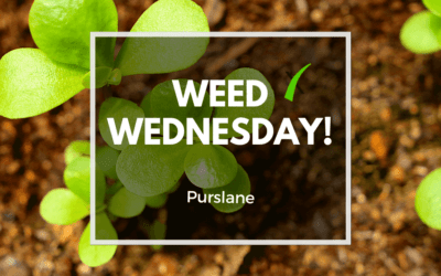 Weed Wednesday Purslane