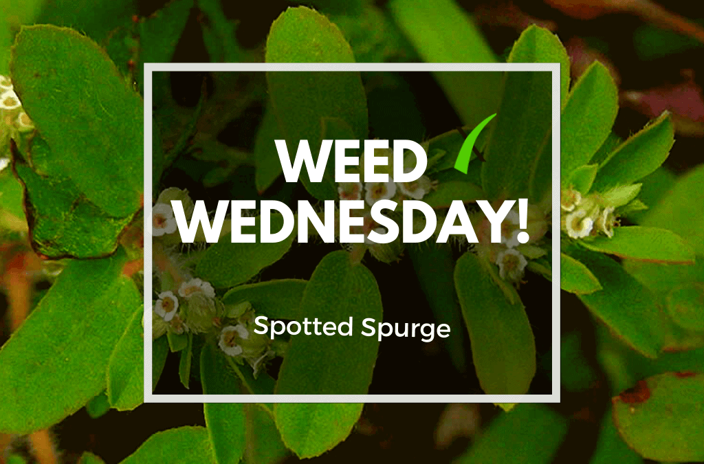 Weed Wednesday Spotted Spurge