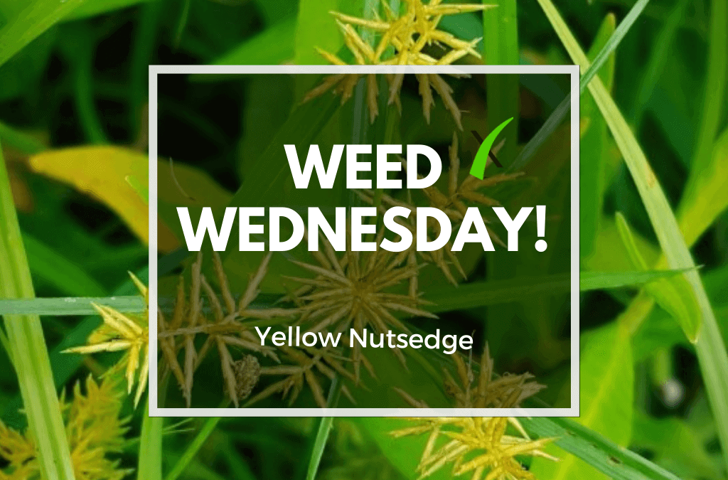 Weed Wednesday: Yellow Nutsedge