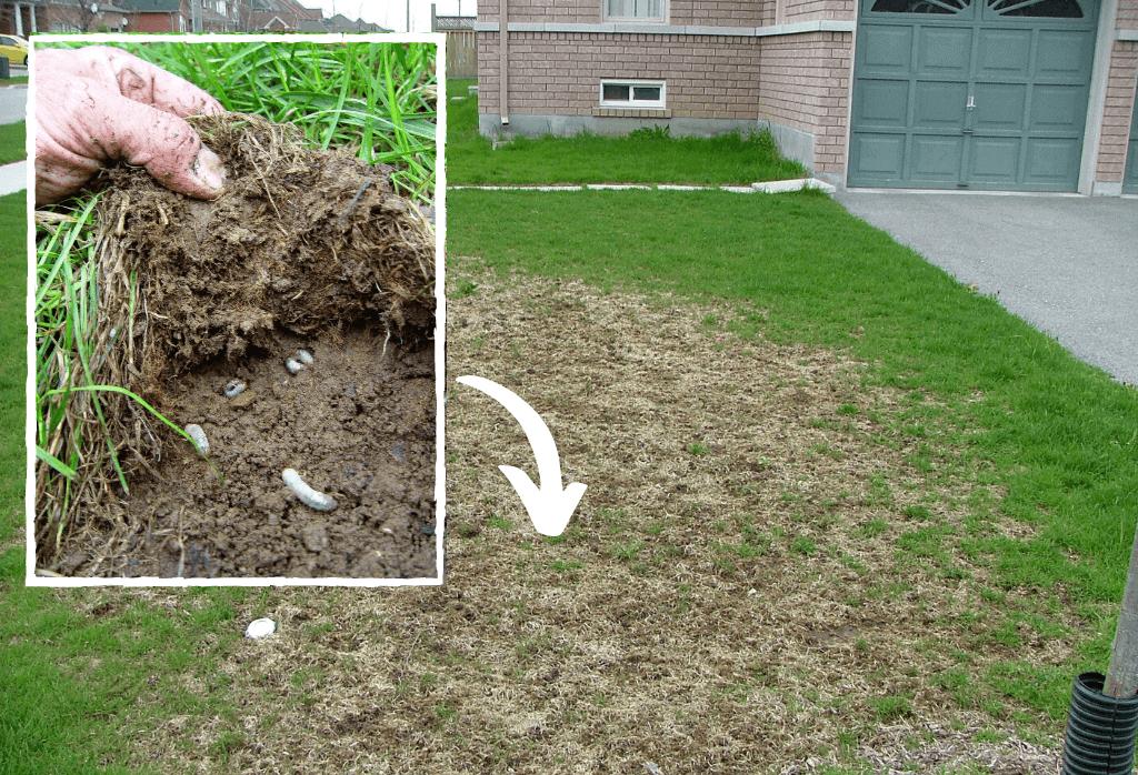 White Grub Lawn Damage