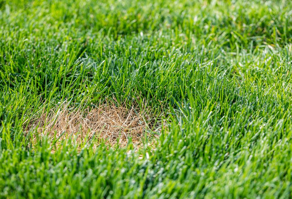 Lawn Turning Brown