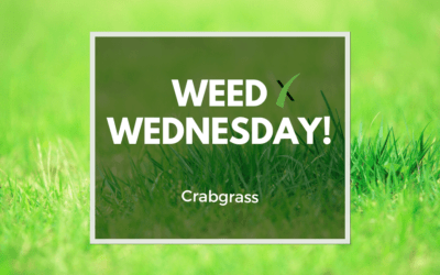 Weed Wednesday Crabgrass