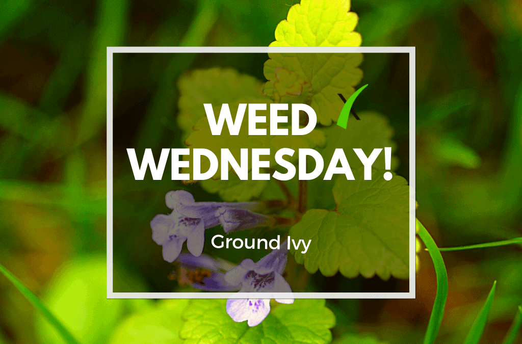 Weed Wednesday: Ground Ivy