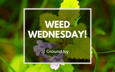 Weed Wednesday-Ground Ivy