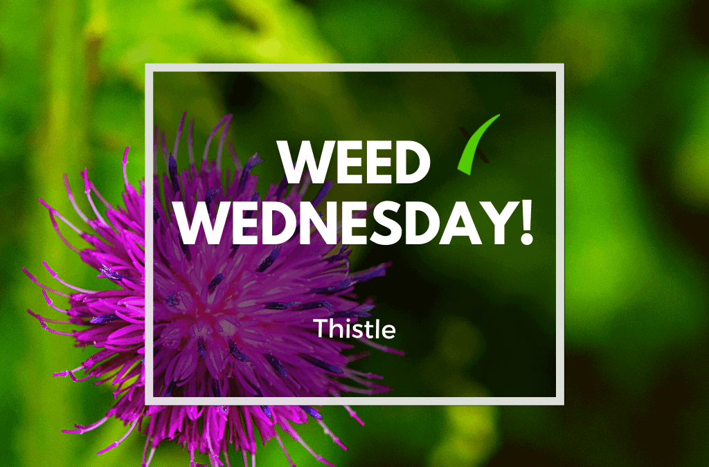 Weed Wednesday: Thistle