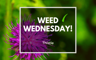 Weed Wednesday Thistle