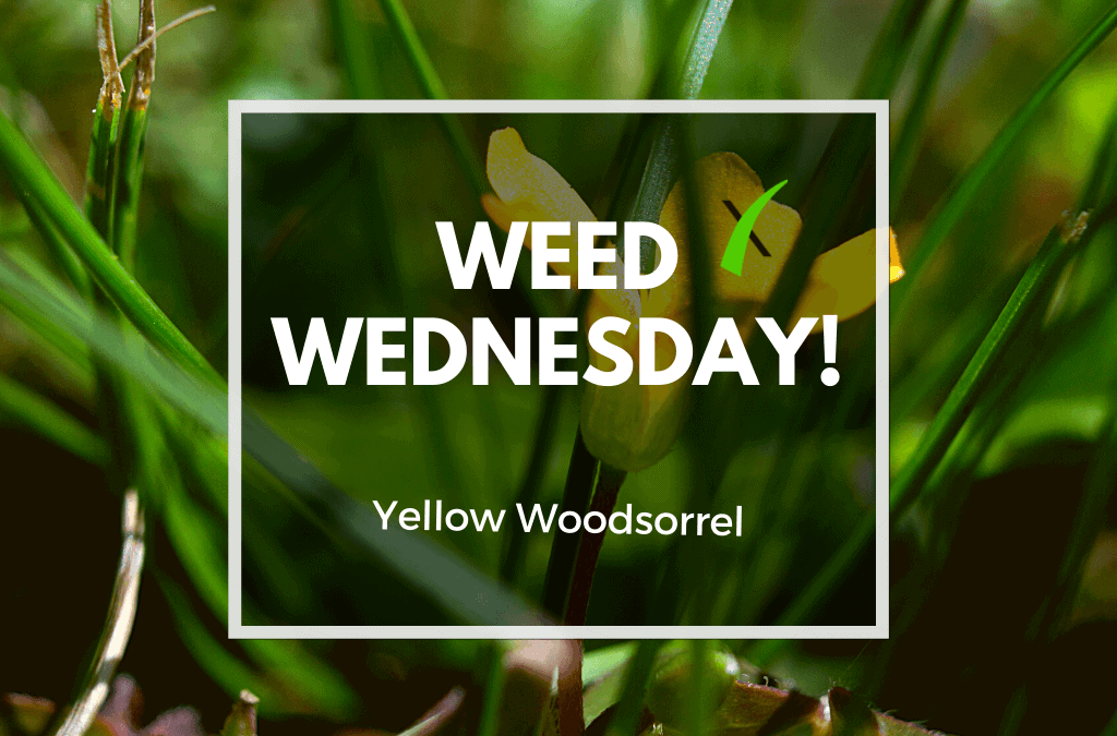 Weed Wednesday Yellow Woodsorrel