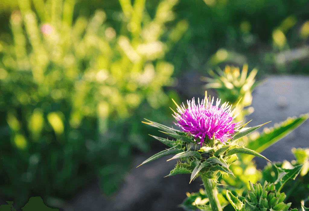 What is Thistle Weed and how do I control it