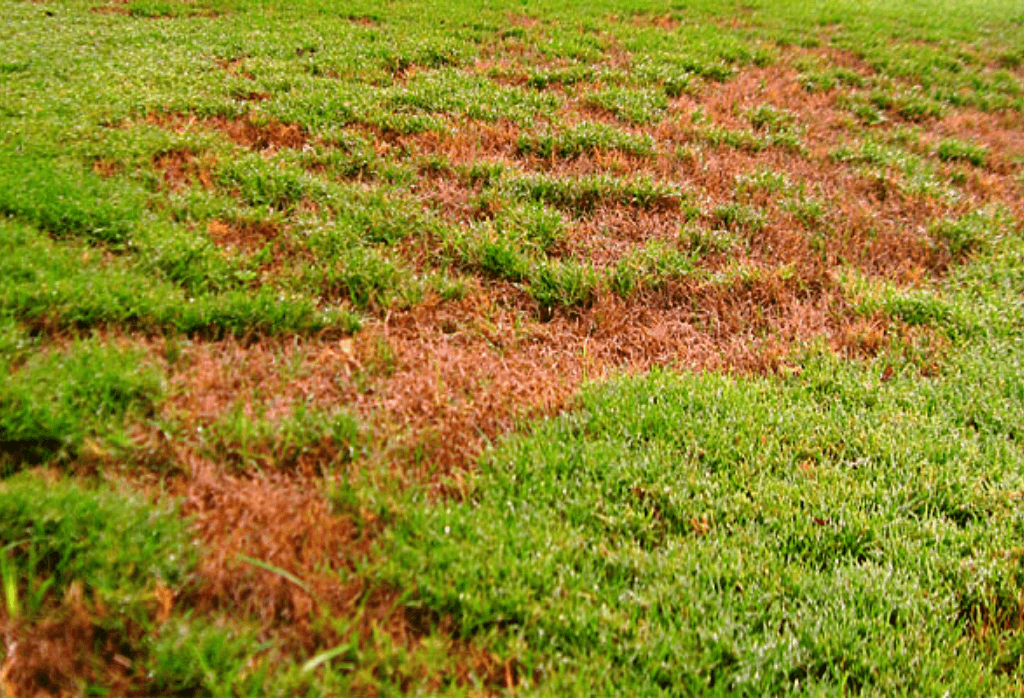 Why lawns turn brown